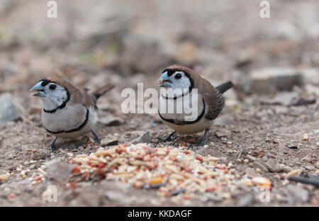 The double-barred finch (Taeniopygia bichenovii) is an estrildid finch found in dry savannah, tropical (lowland) - Stock Photo