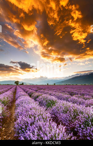 Fiery clouds at sunset over violet lavender field - Stock Photo