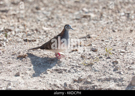 The peaceful dove is also sometimes called the zebra dove, barred dove, or the turtle dove. - Stock Photo