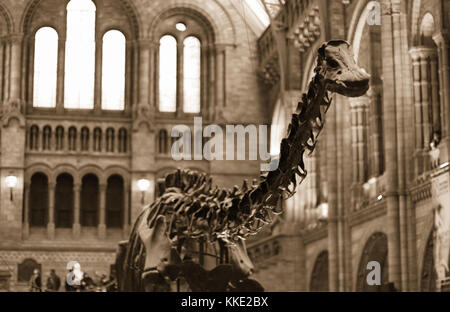 Natural History Museum, London - 15 Feb 2008 - Dippy was the iconic Diplodocus dinosaur of the Natural History Museum - Stock Photo