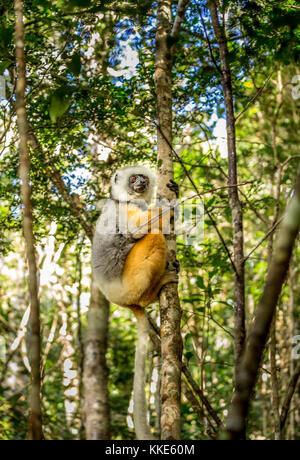Diademed sifaka holding on to a tree in Madagascar - Stock Photo