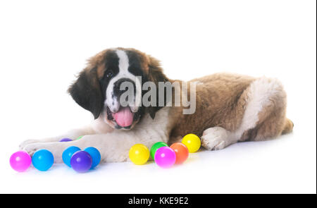 puppy saint bernard in front of white background - Stock Photo