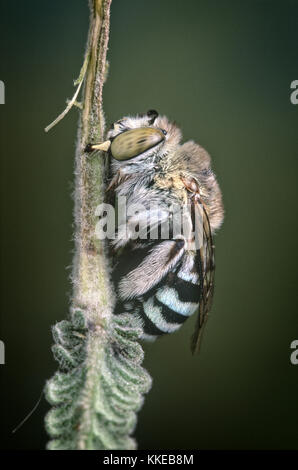 Australian blue-banded bee (Amegilla sp.) sleeping on lavender bush - Stock Photo