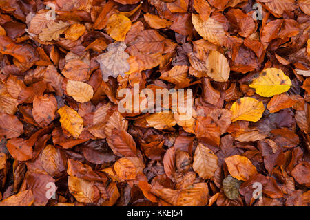 Germany, autumn in a forest at the Ruhrhoehenweg in the Ardey mountains near Wetter, autumn leaves.  Deutschland, - Stock Photo
