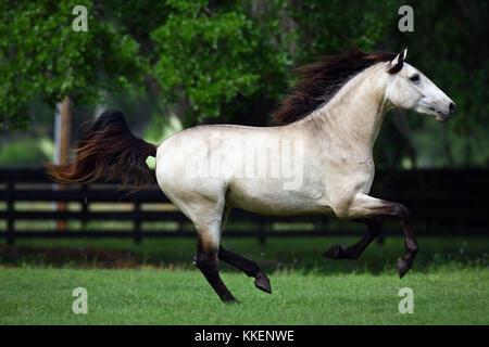 Buckskin Lusitano Stallion - Stock Photo