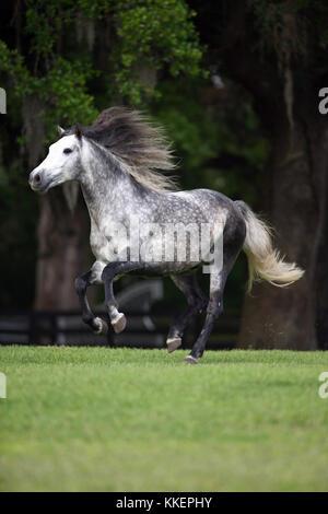 Lusitano Stallion Running Free In Paddock - Stock Photo