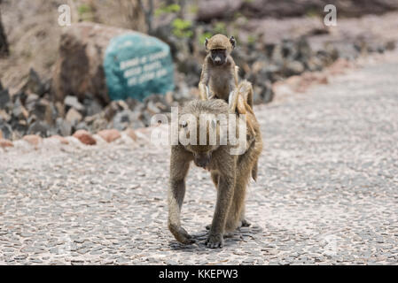 baboon (Papio cynocephalus) riding on the back of its mother, Zambia - Stock Photo