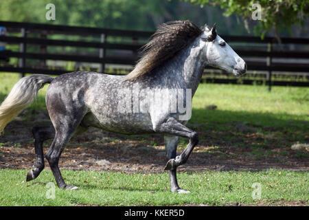 Grey Lusitano Stallion Trotting In Paddock - Stock Photo