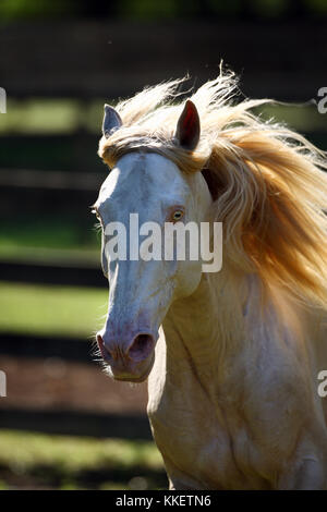 Cremello Lusitano Stallion - Stock Photo