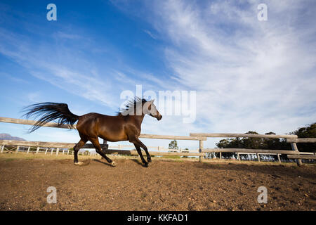 Close up of a thorough bred horse in a pen - Stock Photo