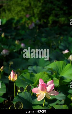 Sacred lotus water lily flowers plants blossoms and leaves grading to soft focus across lily pond pool surface. Pink white green