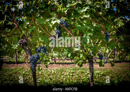rows of grapevine with ripe bunches of red wine on the plant - Stock Photo