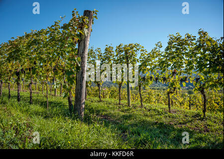 Rows of grapevine with bunch of red wine on the plants and blue sky - Stock Photo