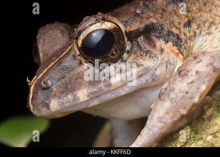 Craugastor species of frog from Belize. - Stock Photo