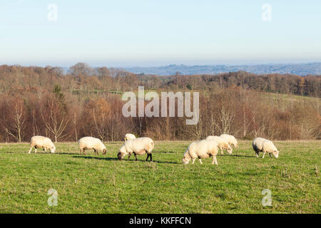 Flock of mixed sheep grazing in a mountain pasture i winter with a view over open countryside with woodland at golden - Stock Photo