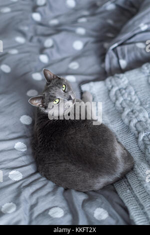 Russian blue cat sitting on grey bed with cozy knitted plaid - Stock Photo