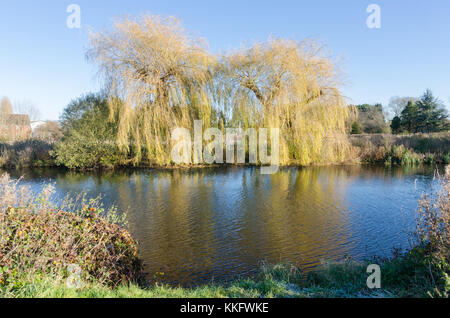 Weeping willow tree or salix babylonica on the bank of the River Avon near Stratford-upon-Avon in Warwickshire in - Stock Photo