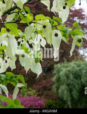 Handkerchief tree in flower  at Trebah Garden, Mawnan Smith, Cornwall. England. UK - Stock Photo