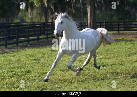 Grey Lusitano Stallion In The Field - Stock Photo