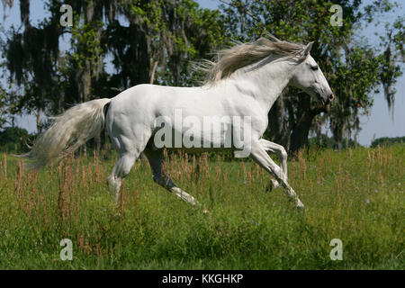 Grey Lusitano Stallion Cantering In Field - Stock Photo