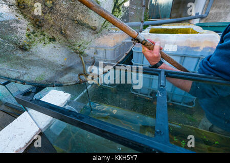 Cantabria, Spain. 30th Nov, 2017. Release of European Eels in the Saja River to strengthen the population and avoid - Stock Photo