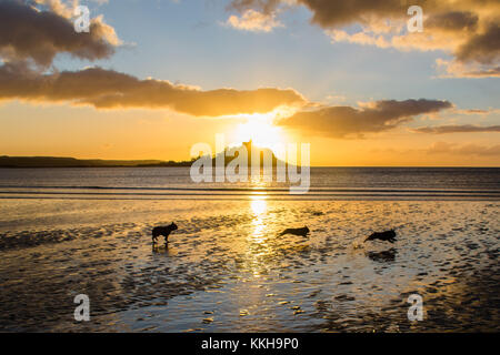French bulldogs out for the early morning walk at sunrise at Longrock beach, near Marazion, Cornwall,  with St Michaels - Stock Photo