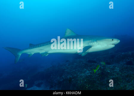 Galeocerdo cuvier, Tiger Shark, Costa Rica, Cocos Island, Costa Rica, Pacific Ocean - Stock Photo