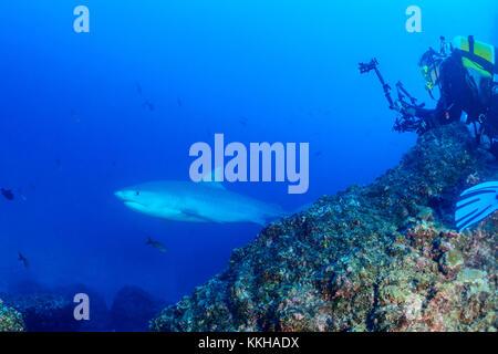 Galeocerdo cuvier, Tiger shark and scuba diver with underwater camera, Cocos Island, Costa Rica, Pacific Ocean - Stock Photo