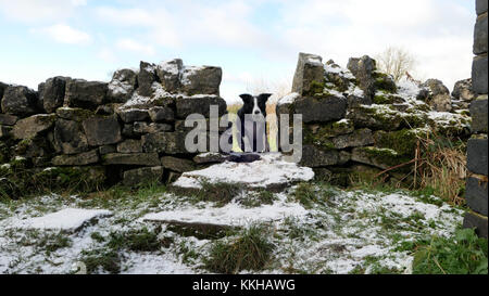 Weather UK Boarder Collie dog walking running over a wall with snow on it during wintery conditions in Tissington, - Stock Photo