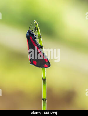 Cinnabar moth (Tyria jacobaeae) resting on the stem of a horsetail plant. Thurles, Tipperary, Ireland - Stock Photo