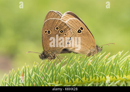 A pair of Ringlet butterflies (Aphantopus hyperantus) mating on a young pine tree in woodland. Cahir, Tipperary, - Stock Photo