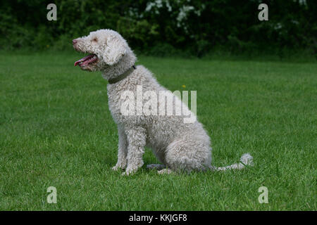 Water Dog - Spanish Spanish Water Dog Perro de Aguas - Stock Photo