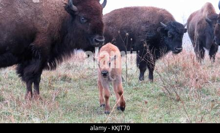 A group of bison watch over a bison calf at the Neal Smith National Wildlife Refuge November 14, 2017 in Prairie - Stock Photo