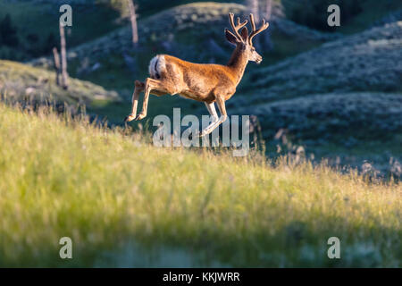 A white-tailed deer runs through the meadow at the Yellowstone National Park July 12, 2017 in Wyoming.  (photo by - Stock Photo