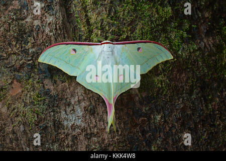 Lunar or Moon moth from Kanger Ghati National Park, Bastar District, Chhattisgarh - Stock Photo