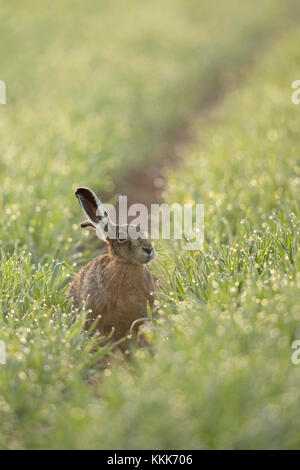 Brown Hare / European Hare / Feldhase ( Lepus europaeus ) sitting in a field of winter wheat, thousands of dewdrops - Stock Photo