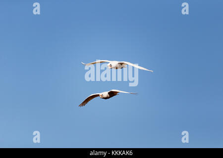 2 Little Corella Cockatoo's  (Cacatua pastinator) in flight , Pilbara, Western Australia - Stock Photo