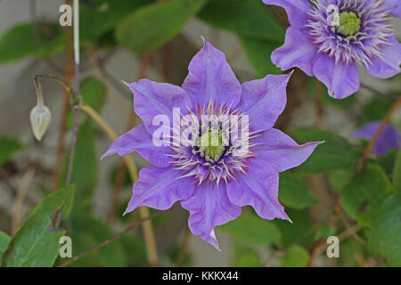 Purple or mauve clematis flower close up in springtime in Italy - Stock Photo