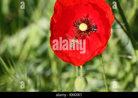 Poppy flower or papaver dubium and honey bee apis mellifera in Italy in Springtime remembrance flower first world - Stock Photo