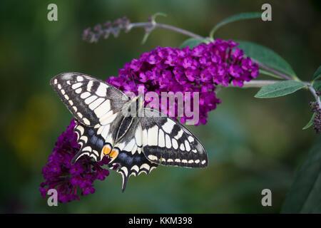 Swallowtail, Schwalbenschwanz (Papilio machaon) - Stock Photo