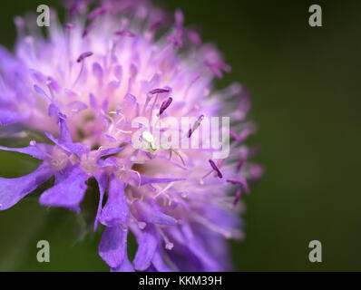 Young crab spider on knautia flower - Stock Photo