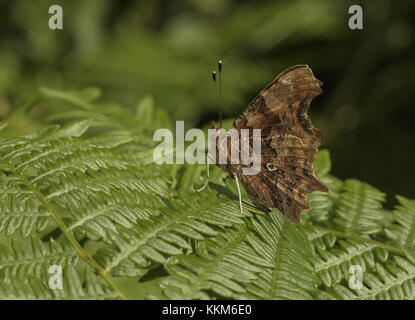 Comma, Polygonia c-album, butterfly settled on bracken. - Stock Photo