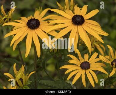 Rudbeckia fulgida var. sullivantii 'Goldsturm' in garden border, late summer. - Stock Photo
