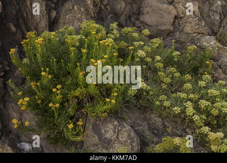 Golden Samphire, Inula crithmoides, with Rock Samphire, in flower on rocky coast, Anglesey. - Stock Photo