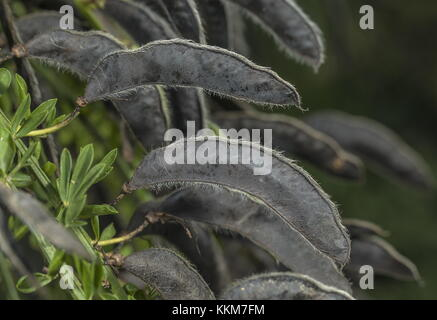 Ripe seed pods of Common Broom, Cytisus scoparius in early autumn. - Stock Photo