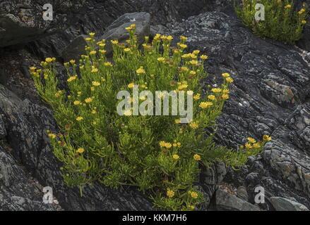 Golden Samphire, Inula crithmoides, in full flower on coastal rocks, Anglesey. - Stock Photo