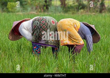 Two Indonesian female labourers with traditional conical hats / capings working in the rice fields on the island - Stock Photo