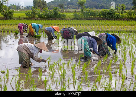 Indonesian female labourers with traditional conical hats / capings planting rice in paddy field on the island Lombok, - Stock Photo