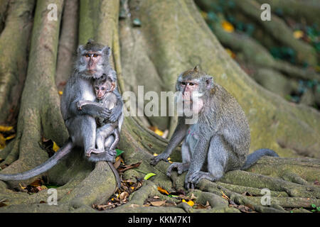 Family of crab-eating macaques / Balinese long-tailed macaque (Macaca fascicularis) with juvenile on the island - Stock Photo