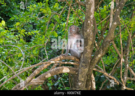 Crab-eating macaque / Balinese long-tailed macaque (Macaca fascicularis) female with young in tree on the island - Stock Photo
